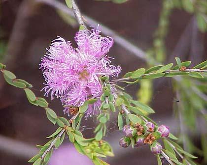 MelacleucaThymifolia420
