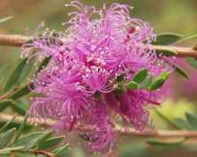 Melaleuca-thmifolia