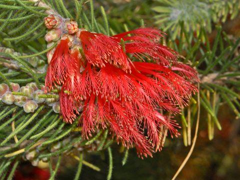 Myrtaceae_-_Calothamnus_villosus