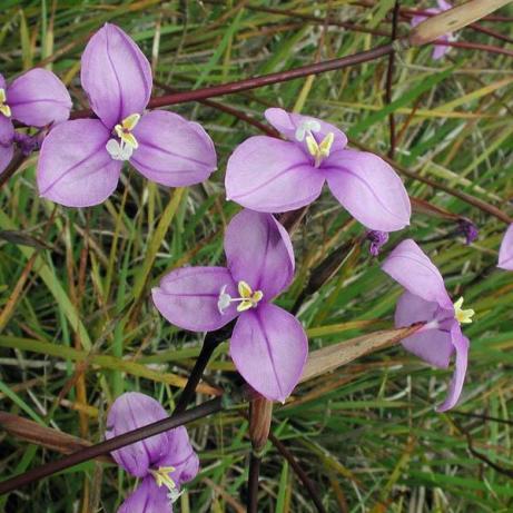 patersonia-occidentalis-2