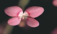 Pink-Fountain-Triggerplant2-1024x690