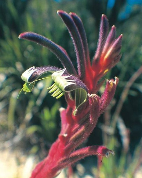purple-and-red-kangaroo-paw-e1403238006993.jpg
