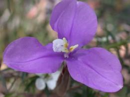 Purple Flag Flower