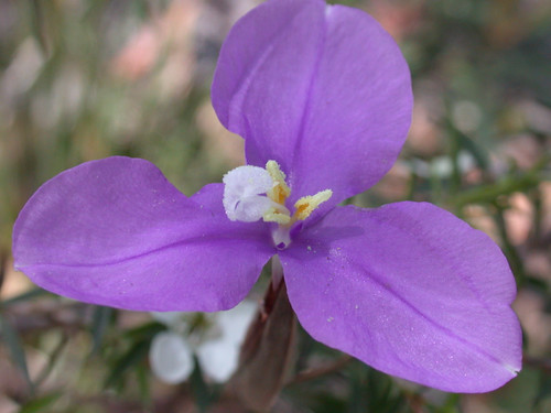 Purple Flag Flower.jpg