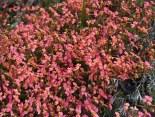 Pink Triggerplants