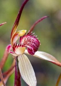 tasmanian-spider-orchids-caladenia-9563crop