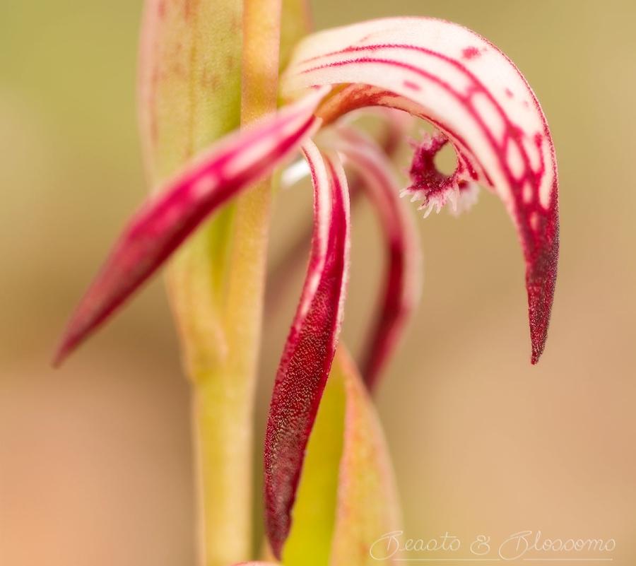Red Beak Orchid (Orquídea PicoRojo)
