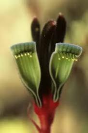 kangaroo redgreen