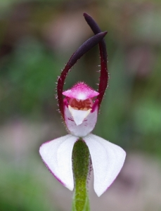 Leptoceras menziesii Hare Orchid