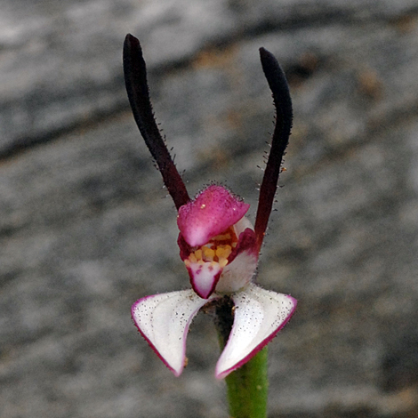 leptoceras_menziesii_rabbit_orchid_close