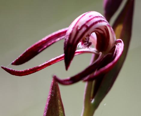 Red Beak orchid close