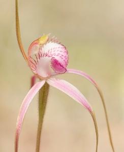 Start's spider orchid (Caladenia starteorum), Priority 2 flora