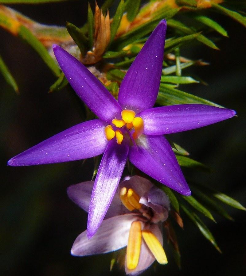 Star of Bethlehem (Estrella deBelén)