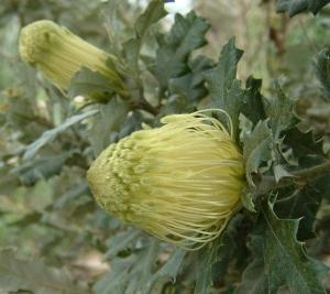 Dryandra praemorsa tres