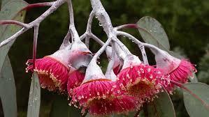 Eucalyptus caesia gungurra