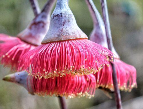 Eucalyptus_caesia1