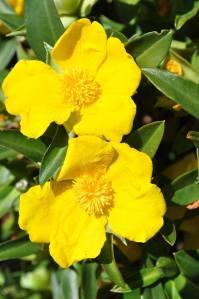 Hibbertia scandens dos