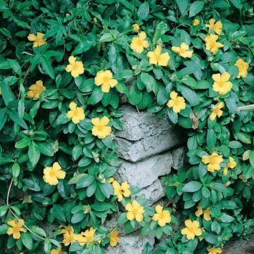 Hibbertia scandens varias