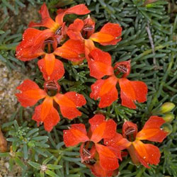 lechenaultia-formosa-a-20377-250