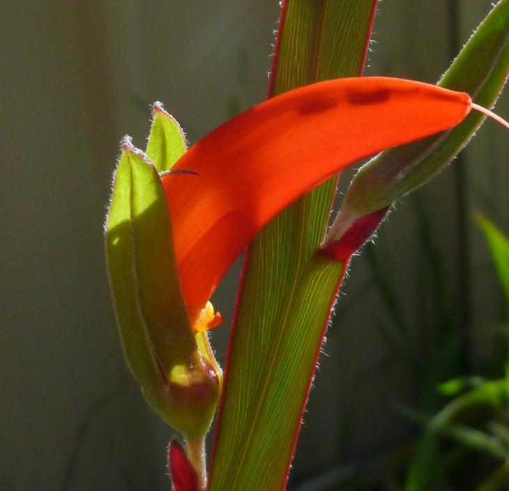 leptosema-aphylla.jpg