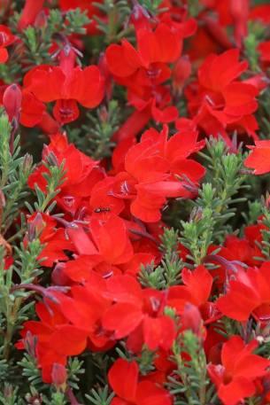 Leschesnaultia roja