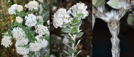 Pimelea Schouten collage (1)