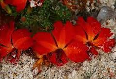 Red Leschesnaultia