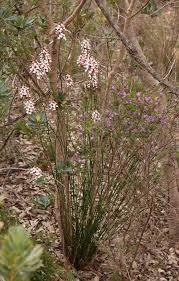 Reed Triggerplant Stylidiaceae lejos