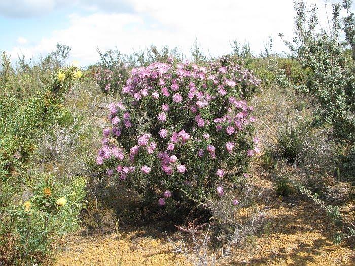 Rose Coneflower 006A Isopogon formosus