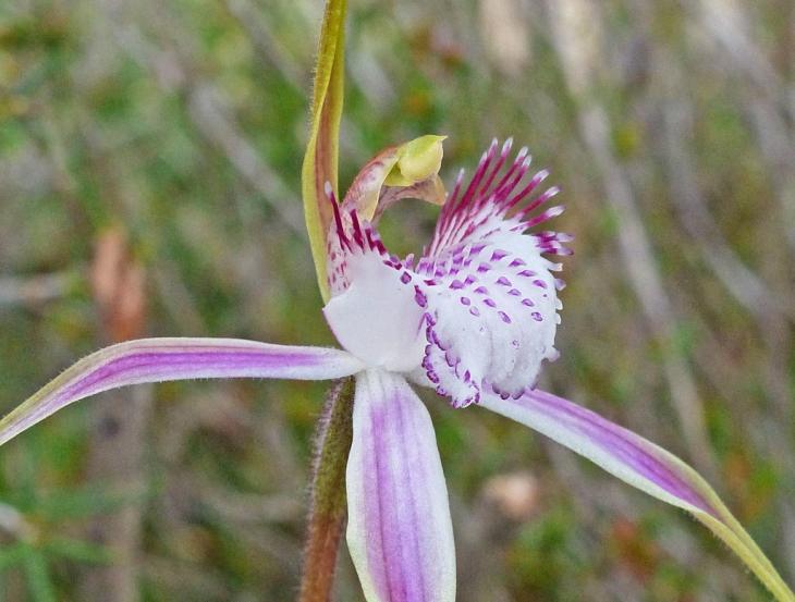 starts-spider-orchid-grande.jpg