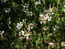 xanthosia-rotundifolia2
