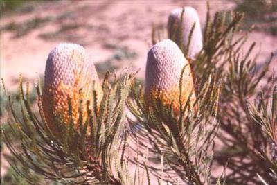 Banksia_Hookeriana varias