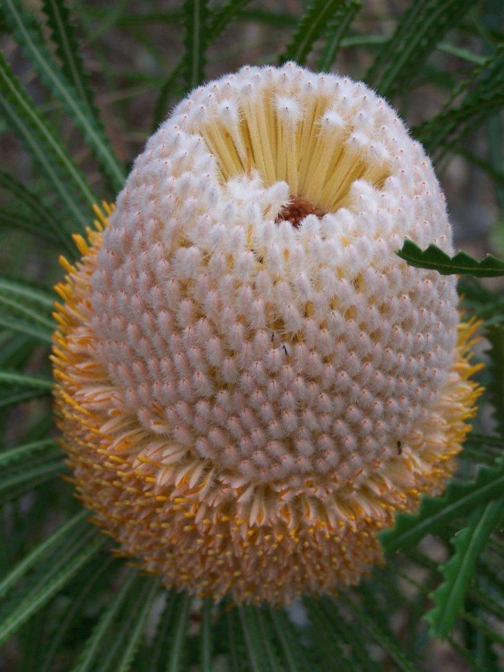 Banksia_hookeriana_01_gnangarra.jpg