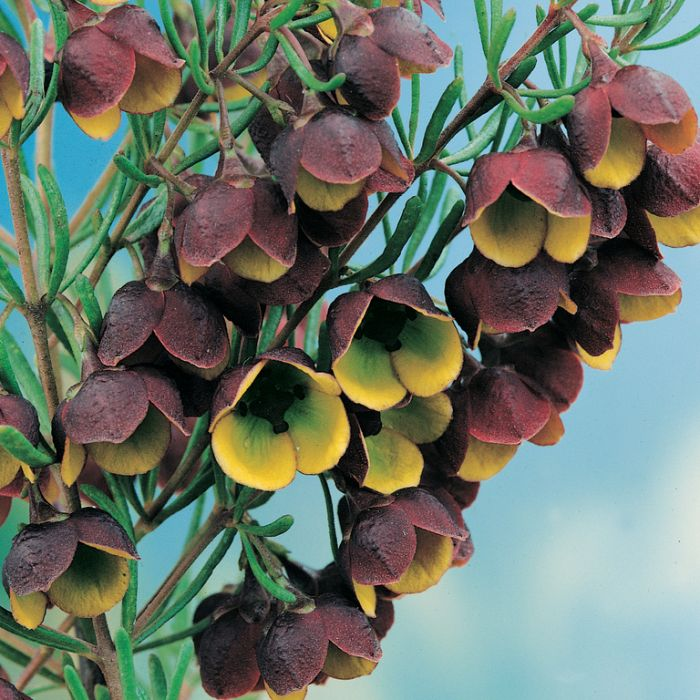 Brown Boronia (Boronia Marrón)