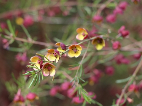boronia-megastigma_brown-boronia_virtuoso-1