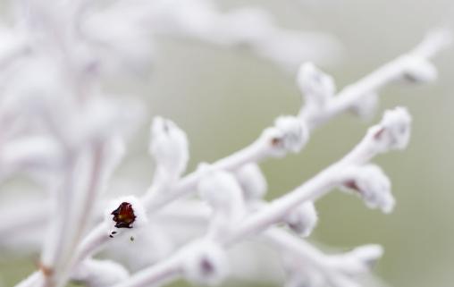 Common-smokebush-Conospermum-stoechadis-9736-5