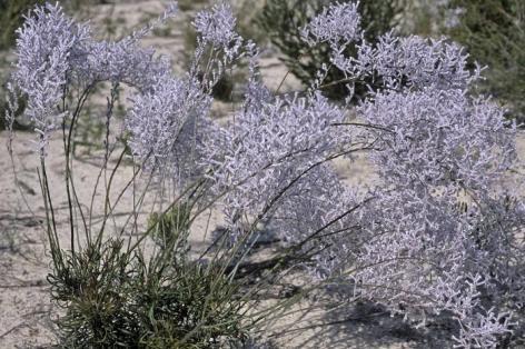 Conospermum incurvum arbusto