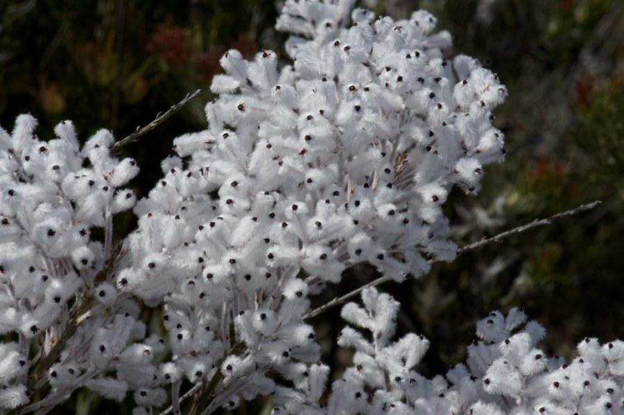Wooly Smokebush (Arbusto de HumoLanudo)