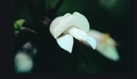 White Eremophila (EremófilaBlanca)