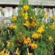 Leschenaultia formosa eldorado