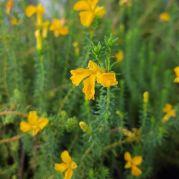 Leschenaultia formosus yellow