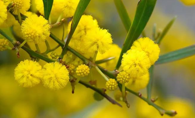 Wattle (Acacia Perfumada)