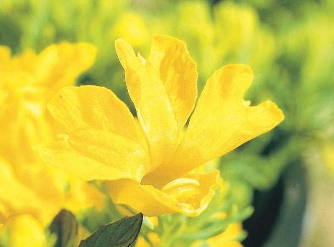 Yellow Leschenaultia (LeschenaultiaAmarilla)
