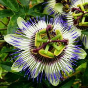 Passiflora_20180304_231119