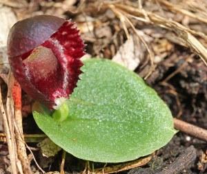 Corybas-recurvus-Capel-22-Jul-2012-2