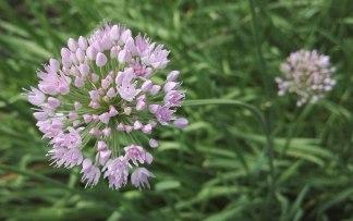 1280px-Allium_angulosum-1F