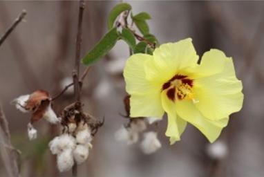 cotton (algodón)
