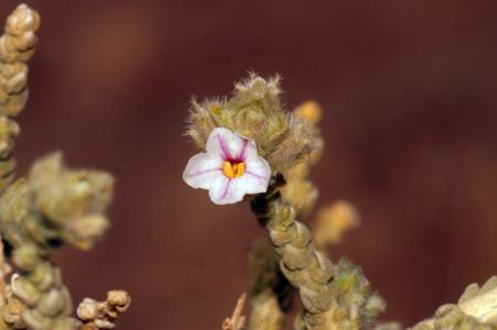 Flor de Kore(Korakai)