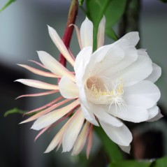 epiphyllum-oxypetalum_8097-34