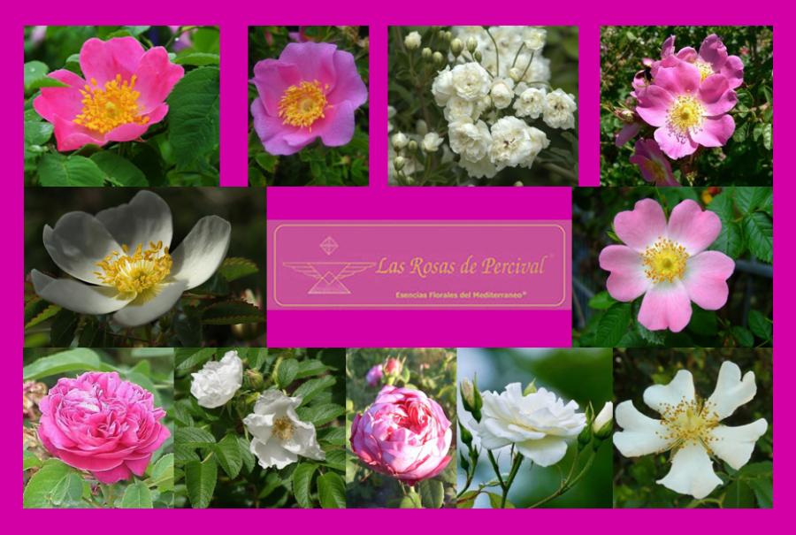 Las Rosas de Percival (RosasÁureas)